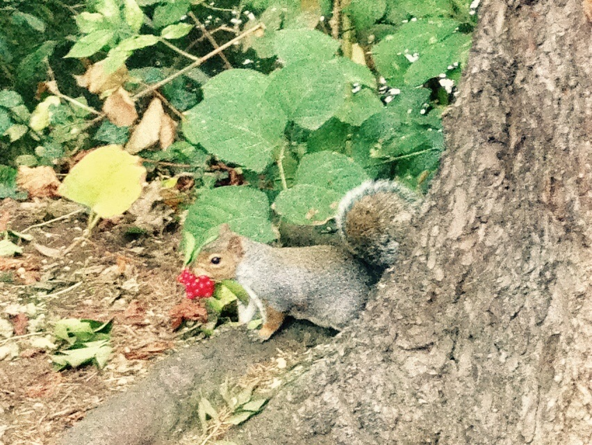 Squirrel, feasting on berries! Richmond, London